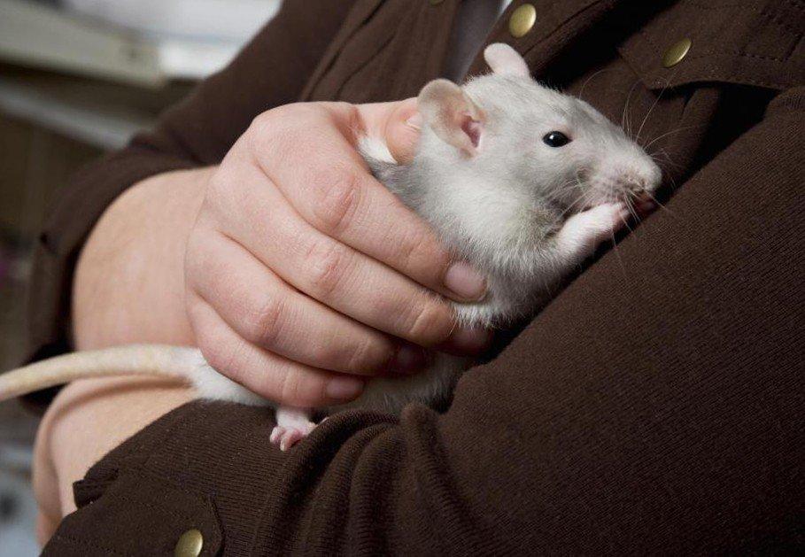 Декоративная крыса и человек