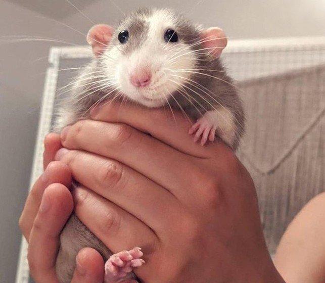 Декоративная крыса на руках