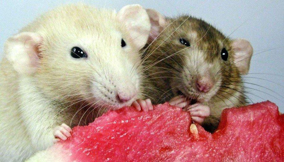 Две крысы кушают
