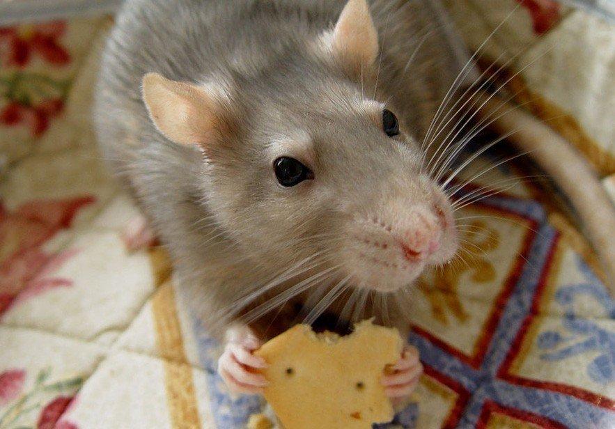 Что едят крысы