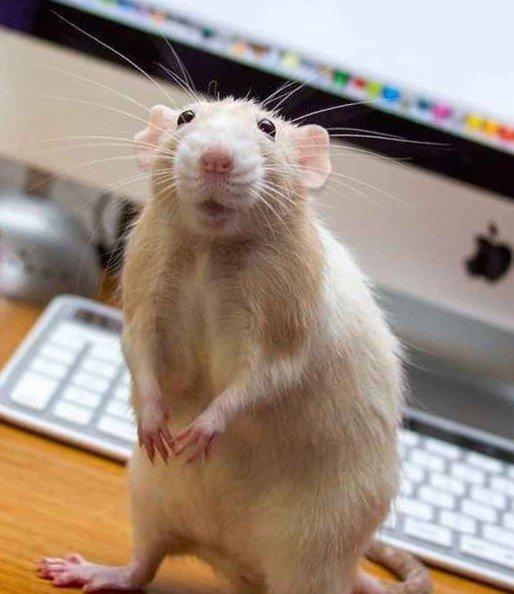 Хитрая крыса